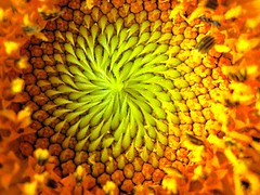 center of the sun (sylkyred1) Tags: orange sun flower green yellow circle center sunflowercenter