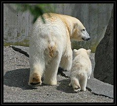 Wilbr and Corinna (omk1) Tags: bear white cute blanco ice animal mammal zoo oso cub tiere photo foto anton polar eis bianco br corinna orso polare ours mignon niedlich eisbr wilhelma polaire tierfotos weis sugetier animalphotos wilbr bijxing