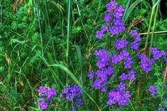 fiori di campo (Giancarlo Mella (OFF)) Tags: italy photography photo digitalcamera giancarlomella