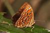 Taxila haquinus berthae (Larger Harlequin) (GeeC) Tags: animalia arthropoda butterfliesmoths cambodia insecta kohkongprovince largerharlequin lepidoptera lycaenidae nature papilionoidea riodininae tatai taxila taxilahaquinusberthae truebutterflies
