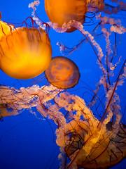 Sea Nettles (Night Owl City) Tags: seanettle jellyfish montereybayaquarium montereycounty opensea monterey california usa