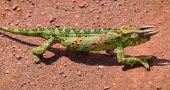 Jackson's Chameleon (Rod Waddington) Tags: africa african afrika afrique uganda ugandan chameleon jacksons threehorned reptile trioceros jacksonii