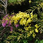 Acacia fimbriata thumbnail