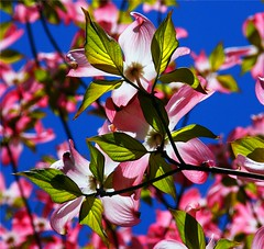 Sunny Dogwood (Stanley Zimny (Thank You for 20 Million views)) Tags: park pink flowers sun green nature colors garden botanical flora seasons arboretum fourseasons cornus naturephotos frelinghuysen natureimages blumenhartriegel