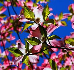 Sunny Dogwood (Stanley Zimny (Thank You for 23 Million views)) Tags: park pink flowers sun green nature colors garden botanical flora seasons arboretum fourseasons cornus naturephotos frelinghuysen natureimages blumenhartriegel