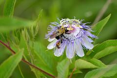 Passiflora incarnata (ggallice) Tags: flower nature nikon state florida wild