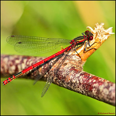 Large Red Damselfly (Richard Beech (rdb75)) Tags: macro nature canon dorset arne damselfly pyrrhosomanymphula largereddamselfly 2011 richardbeech rdb75