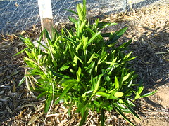 Oleanders (Still Fighting)