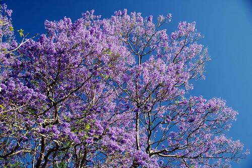 Essa é a época em que os jacarandás florescem em Brisbane, Austrália