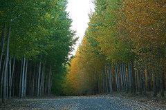 The road between (walla2chick) Tags: road usa tree green gold poplar grove or umatilla 6801 mywinners flickrelite