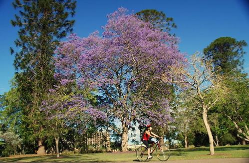 jacarandá, uma árvore bastante comum em Brisbane