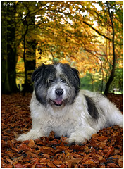 Bed of Leaves (Edgar Thissen) Tags: autumn dog fall 20d dogs leaves forest canon explore bully pgphotography mioritic edgarthissen 27564 mywinners abigfave