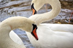 We're Not talking! (Roger's Photos59) Tags: nature birds wildlife swans goldenglobe blueribbonwinner amazingtalent aplusphoto rogersphotos59 showmeyourqualitypixels