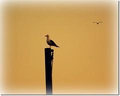 Landing point (Inga Sig.) Tags: bird flying iceland seagull pole inga resting fuglar staur mvur sandgeri
