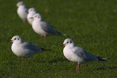False Start (charminbayurr) Tags: red seagulls white green eye birds seagull gulls south beak feathers shields