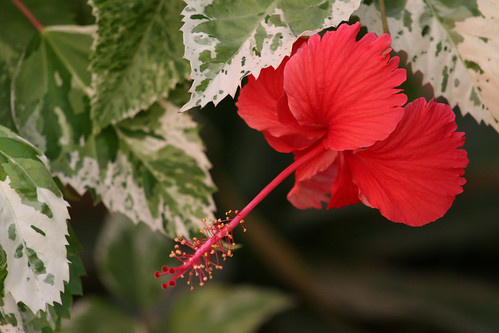 Japanese variegated hibiscus