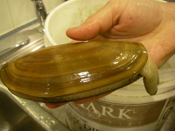 How to clean cook razor clams