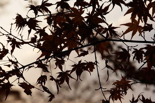 Japanese Maple Silhouette