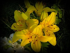 Yellow Painted Lilies Picnik (Chrisser) Tags: flowers summer ontario canada nature garden gardening lilies fourseasons closeups lilium picnik liliaceae olympuscamediac765