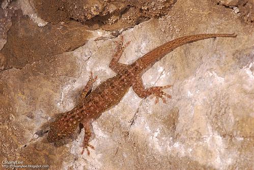 31040 菊池氏壁虎 (Kikuchi's Gecko) Gekko kikuchii