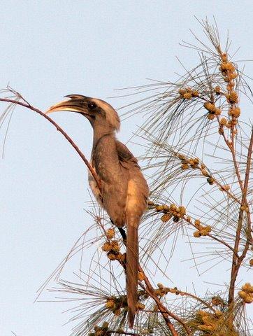 indian grey hornbill pune 181207 sindh society cosy retreat