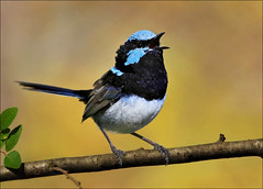 Superb Fairy-wren singing (aaardvaark) Tags: male singing australia cal canberra act superbfairywren maluruscyaneus ex1 specanimal avianexcellence 20070502 18104~sufw ix273