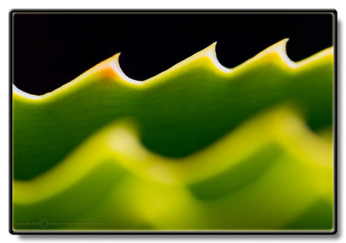 Photo- Aloe Vera (ratatosk@flickr)