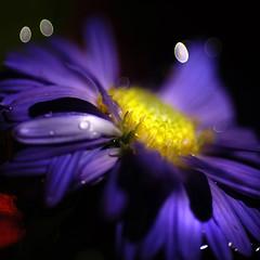 Purple Haze... (TIO...) Tags: bravo goodmorning flowerotica touchofred infinestyle heresmimbrava wheresmimbrava hugsforjuney icanalmosthearhendrixplaying isthatwateronthelens sotenderandyetsobold topthreedropletstobepearlescent aretheredropsofwateronyourlens floatingdroplets theeverydaylooksextraordinary thelightnessofairandsodreamy thankyoumrmoor sweetestdream magicalandmesmerizing howdidyougetthefloatingdroplets