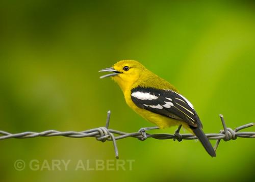 dalam dunia kicauan burung di kalangan penggemar burung kicauan