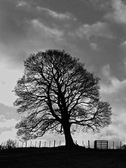 Prevailing (RoystonVasey) Tags: bridge white black tree silhouette photoshop fence river mono wire gate fuji north east northumberland windswept finepix leaning coquet weldon longframlington s6500fd s6000fd