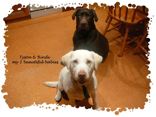 chocolate lab and yellow lab - Tyson and Bindi