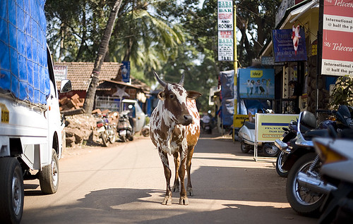 Holy cow traffic, Chapora, Goa