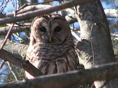 Close up barred owl