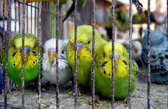 feeling cold (Alieh) Tags: cold colors birds freedom persian iran persia prison budgerigar parakeet iranian lovebird  esfahan parakeets isfahan agapornis            aliehs alieh          lovebirdinprison  budgerigarparakeets
