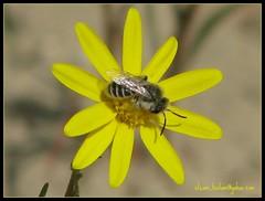 bee on flower (hunter_q8t) Tags: artphoto naturesfinest abigfave aplusphoto kuwaitphoto kuwaitartphoto kuwaitart proudlychopped