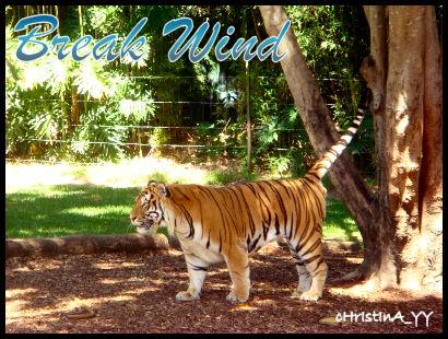 Tiger Presentation: Break Wind