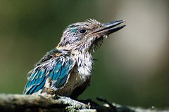 Sacred Kingfisher - fledgling (daKing pics) Tags: sanctus queenslandaustralia sacredkingfisher todirhamphussanctus coombabah todiramphus todiramphussanctus avianexcellence llovemypic