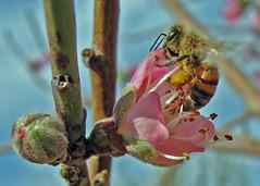 Bee on a Peach Blossom (RnzWithScizzerz) Tags: arizona flower phoenix bee rnzwithscizzerz