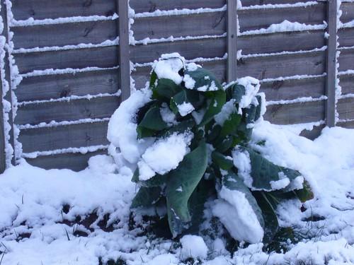 cabbage snow