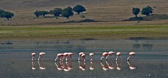 Flamingoes in the crater (jonclark2000) Tags: bird tanzania flamingoes safari ngorongoro ngorongorocrater flamingoe