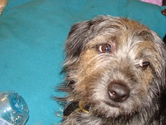 Randoms 058 (Paula Sequeira) Tags: borderterrier