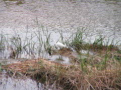 Tortosa: Martinet Blanc al riu Ebre
