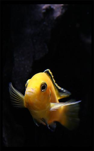 yellow cichlid fish - photo #23