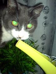 DSC03762 (deebugger) Tags: cat greeneyes wateringpot