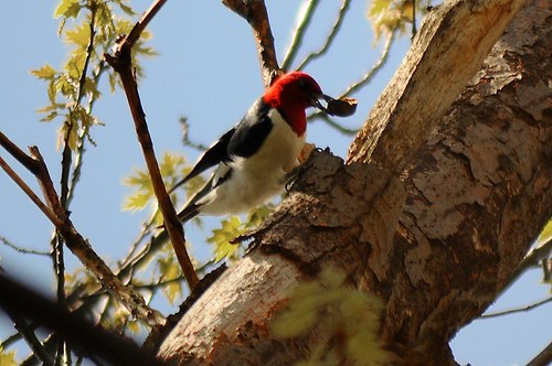 Red-headed woodpecker with food