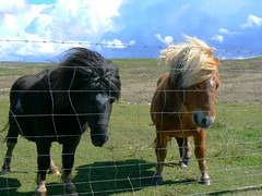 Short-legged ponies