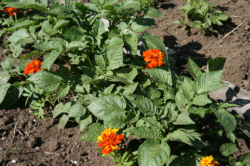 marigolds and potatoes