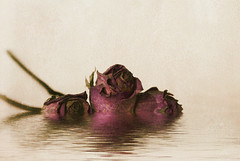 Three withered / Tres marcides (juli_modul) Tags: barcelona old roses flood sony rosa catalonia catalunya withered antic catalua textured  cruzadas dscr1 fantasticflower infinestyle theperfectphotographer thegardenofzen julimodul magicdonkeysbest marcides
