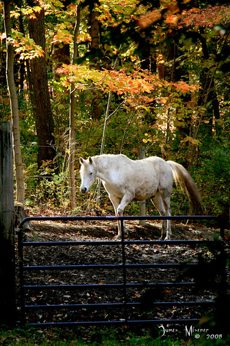 chestnut ridge horse