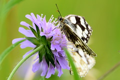 Purple and White. (pstone646) Tags: butterfly insect marbledwhites closeup beauty nature wildlife animals flower purple white kent bokeh